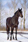 Black trakehner stallion standing at snow in winter poster