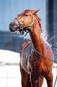 Bathe horse with a hose poster