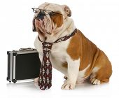 business dog - english bulldog male wearing tie and glasses sitting beside briefcase poster