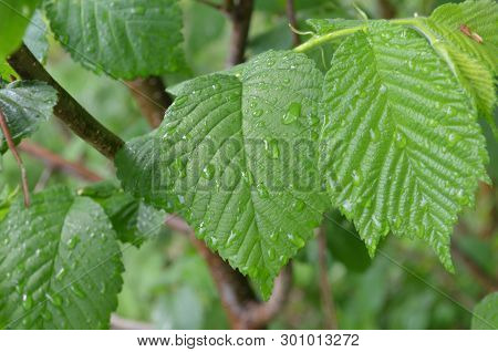 The Leaves Of The Trees. Trees After The Rain. May In Russia. Beautiful Near. Greens After The Rain.