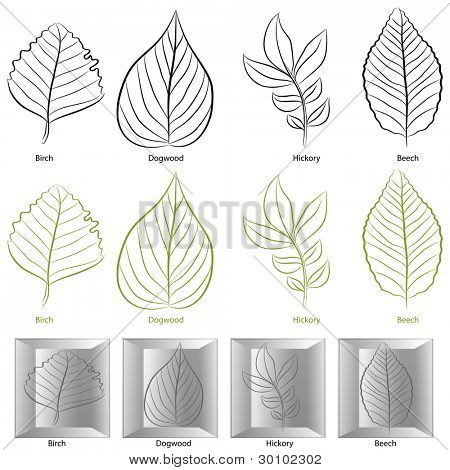 An image of a set of birch, dogwood, hickory and birch tree leaf types.