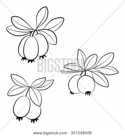 Set Of Feijoa Branches, Fruits And Leaves, Black Pictograms Isolated On White. Vector
