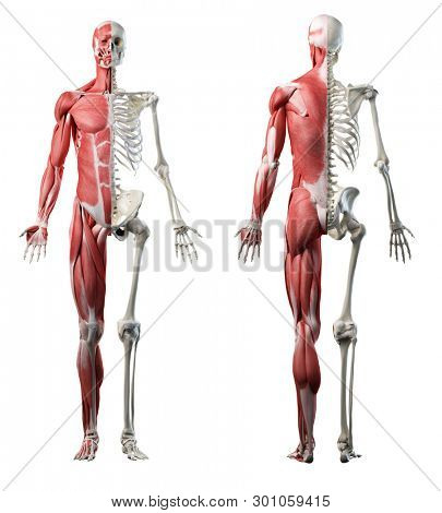 3d rendered medically accurate illustration of the front and back of a mans muscle system