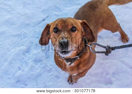 Dachshund Dog On The Background Of Snow. Brown Dog. Dog On A Leash
