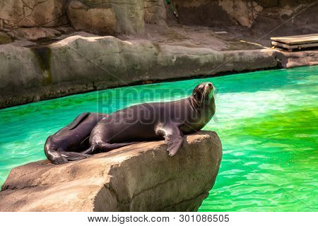 March 2019: California Sea Lion (zalophus Californianus) In Barcelona Zoo.