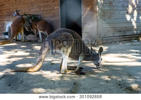 March 2019: Red Kangaroo (macropus Rufus) In Barcelona Zoo.