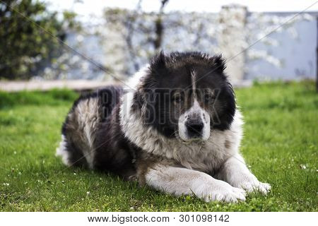 Adult Caucasian Shepherd Dog In The Yard. Caucasian Sheepdog In Sprig Time. Fluffy Caucasian Shepher