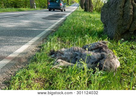 A Dead Nandu Lies Next To The Road After A Collision With A Car