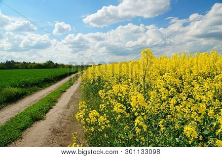 Rapeseed Spring Crop On Farmland, Member Of The Family Brassicaceae And Cultivated Mainly For Its Oi