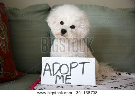 Pet Adoption concept. Bichon Frise Dog. Pet Adoption Sign. Room for text.
