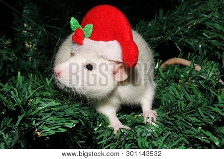 97ec5070ab8e8 A Rat In A Christmas Hat