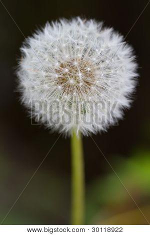 Common Dandelion (also: lt. Taraxacum sect. Ruderalia) poster