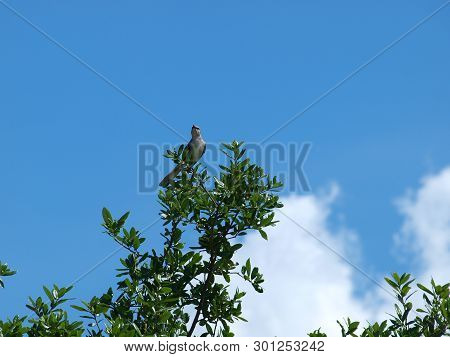 A Mockingbird Sits On Tree Top Singing And Observing.