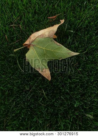 Two-tone Leaf against Green Grass