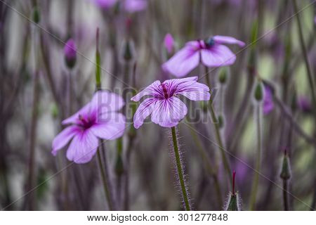 Geranium Maderense, Known As Giant Herb-robert[1] Or The Madeira Cranesbill, Is A Species Of Floweri