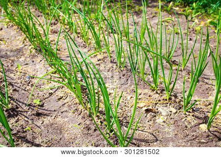 Flat Bed Of Green Onions In The Ground. The Land Is Planted With Green Onions.