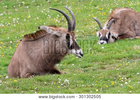 Roan Antelope (hippotragus Equinus). Detail Portrait Of Antelope, Head With Big Ears And Antlers.