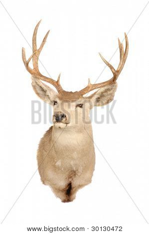 Taxidermy mount of a mule deer (odocoilus hemionus)
