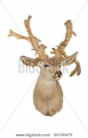Taxidermy mount of a mule deer (odocoilus hemionus)