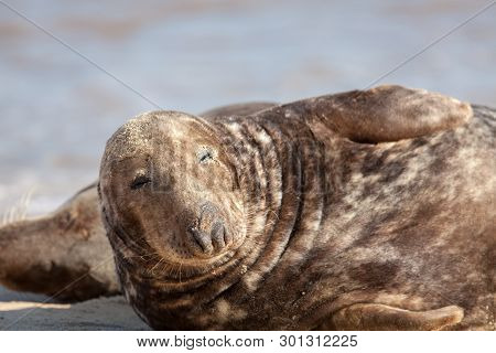 Dozy Animal. Sleepy Lethargic Seal Feeling Drowsy. Eyes Half Closed. Cute Funny Wildlife Meme Image