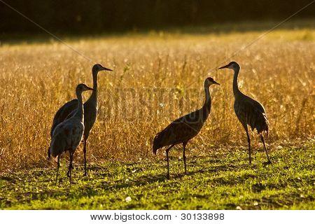 Sandhill Cranes in Field