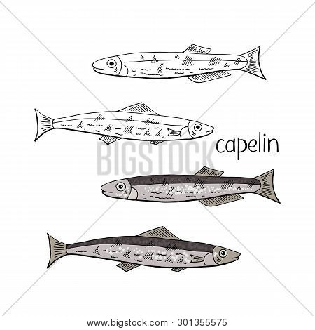 Hand Drawn Fish Capelin Black And White And Color Isolated On White Background. Vector Capelin Fish