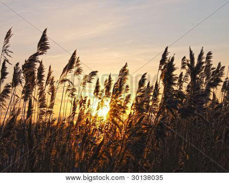 Reeds On A Sunset In The Winter.