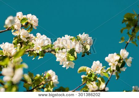 Spring landscape. Spring flowers of spring blooming apple tree on the background of the blue sky, creative filter applied. Spring flower background