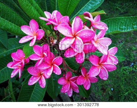 Pink frangipani flower with water drops