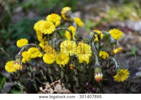 Beautiful Group With Sunlit Blossom Coltsfoot Flowers