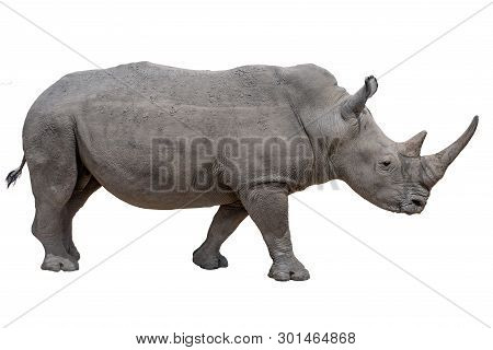Rhinoceros Isolated On White Background.- Portrait, Detail.