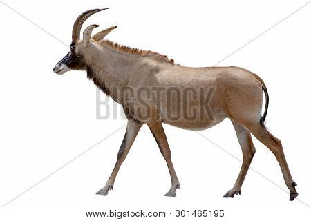 Roan Antelope On White Background - Rare, Detail