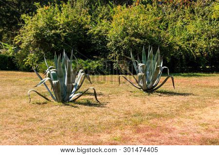 Agave Tequilana, Commonly Called Blue Agave (agave Azul) Or Tequila Agave