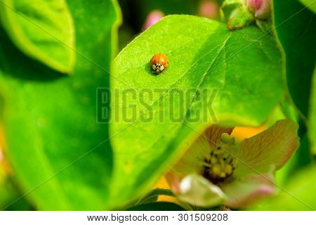 Small Orange Beetle (adalia Decempunctata) From The Family Coccinellidae On A Quince Leaf, In The Wa