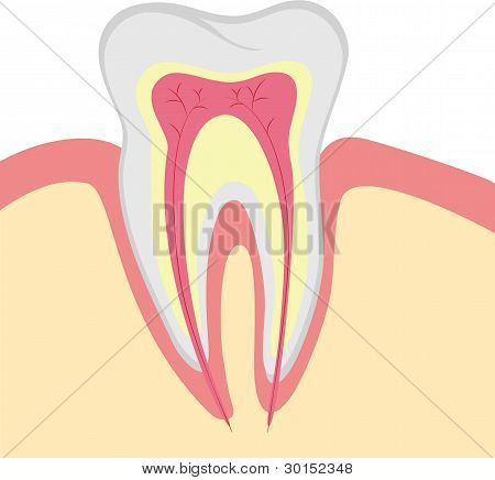 Structure of the human tooth, vector illustration poster
