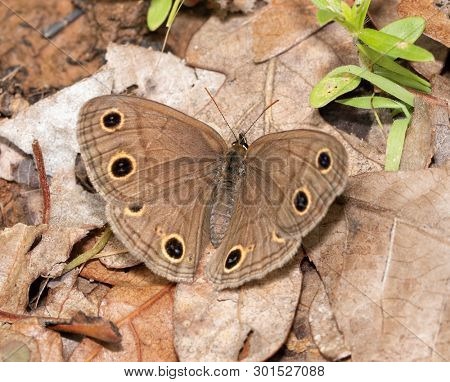 Dorsal view of a Little Wood Satyr butterfly resting on a dead leaf, well camouflaged