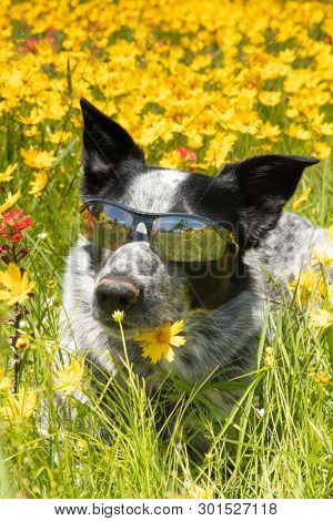 Happy black and white dog lying on a flowery meadow in spring sunshine wearing shades
