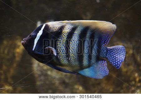 Sixbar angelfish (Pomacanthus sexstriatus), also known as the six banded angelfish.