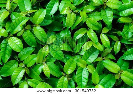 Top View Of Green Leaves For Green Background, Green Leaves Background., The Green Color Gives Energ