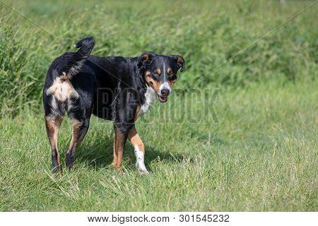 Appenzeller Sennenhund Image Photo Free Trial Bigstock