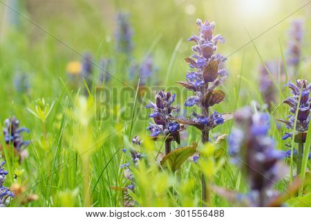 Wild Flowers In The Meadow - Bugle Flower, Bugleweed, Carpetweed - Ajuga Reptans