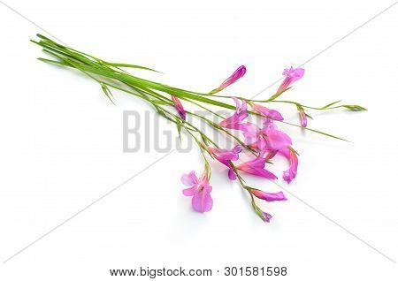 Gladiolus Italicus Is A Species Of Gladiolus Known By The Common Names Italian Gladiolus, Field Glad