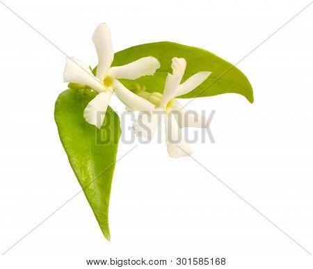 White Jasmine Or Jasminum Flowers. Isolated On White Background