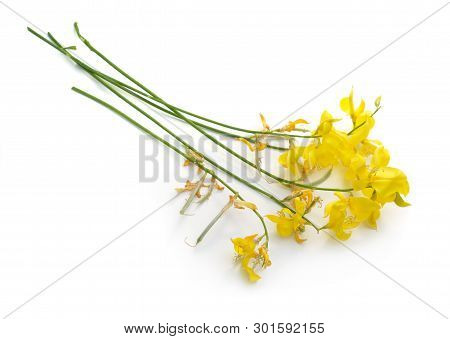 Spartium Junceum, Commonly Known As Spanish Broom Or Weavers Broom. Isolated