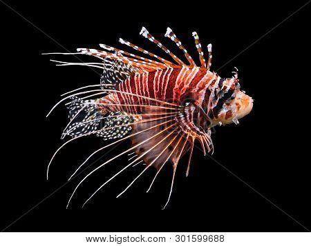 Beautiful Swimming Lionfish Isolated On Black Background.