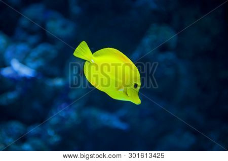 Blue Background With One Yellow Tang Fish