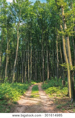 Country Road Through Beech Forest. Tall Trees With Green Lush Crowns. Beautiful Nature Scenery In Su
