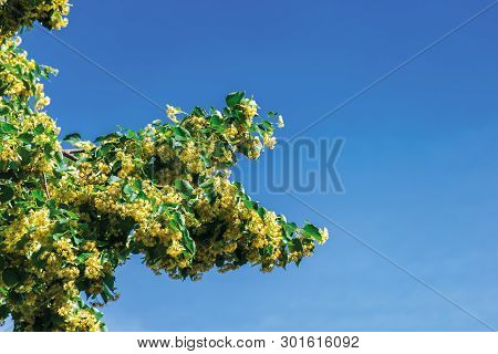 Branches Of Blossoming Linden On The Blue Sky Background. Beautiful Nature Scenery On A Sunny Summer