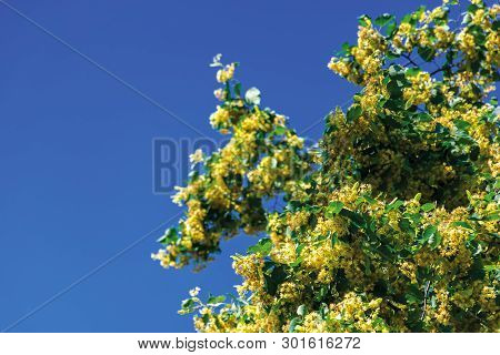 Branches Of Blossoming Linden On The Blurry Blue Sky Background. Closeup With Shallow Depth Of Fiell