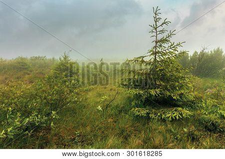 Spruce Tree On A Meadow In Haze. Stormy Weather In Summer. Overcast Sky